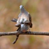 Сопрягать птицы голубя зебры Стоковые Фотографии RF