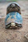 Сопрягать черепахи стоковые фото