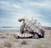 Сопрягать черепах Галапагос гиганта Стоковые Изображения