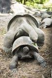Сопрягать черепах Стоковое Изображение