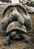 Сопрягать черепах Стоковое Фото