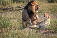 Сопрягать 2 львов занятый в траве Стоковое Фото