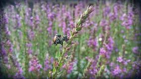 Сопрягать 2 японских жуков Стоковые Фото