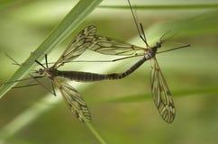 сопрягать craneflies Стоковая Фотография