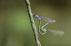 Сопрягать Dragonflies Стоковая Фотография RF