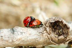 сопрягать ladybug Стоковые Изображения