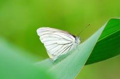 Сопрягая бабочка 2 Стоковое Изображение RF