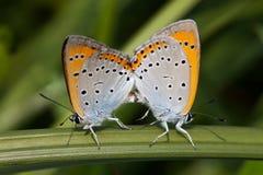 Сопрягая бабочка Polyommatus Икар Красочный голубой gossamer-подогнали апельсин, который Стоковая Фотография