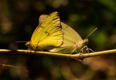 Сопрягая бабочки серы Стоковое фото RF