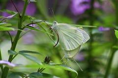 Сопрягая бабочки Стоковые Изображения RF