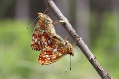 Сопрягая бабочки Стоковое Фото