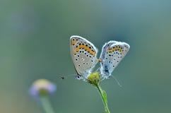 Сопрягая бабочки Стоковые Фотографии RF