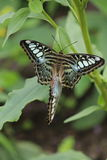 Сопрягая бабочки Стоковое фото RF