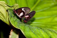 Сопрягая бабочки Стоковая Фотография