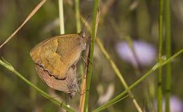 Сопрягая бабочки (telmessia Satyridae - Maniola) Стоковые Изображения RF