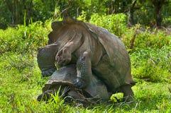 Сопрягая гигантские черепахи Стоковое Фото