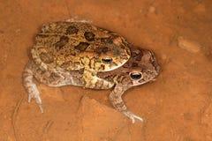 Сопрягая гуттуралые жабы Стоковое фото RF