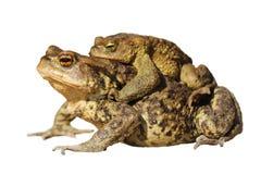 Сопрягая жабы над белизной Стоковое Изображение