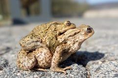 сопрягая жабы Стоковое Фото