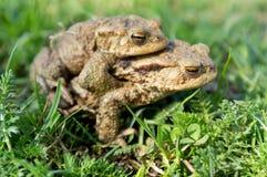 сопрягая жабы Стоковая Фотография RF