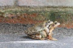 сопрягая жабы Стоковые Фотографии RF