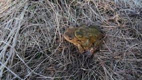 2 сопрягая лягушки идут в траву видеоматериал
