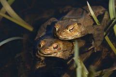 Сопрягая общее bufo Bufo жаб в пруде Стоковая Фотография RF