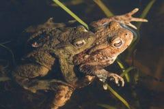 Сопрягая общее bufo Bufo жаб в пруде Стоковые Фото