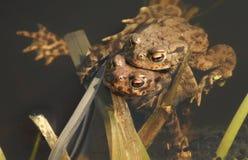 Сопрягая общее bufo Bufo жаб в пруде Стоковая Фотография