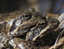 Сопрягая общие лягушки Стоковое фото RF