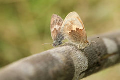 Сопрягая пара малого pamphilus Coenonympha бабочки вереска садилась на насест на ветви Стоковое Фото
