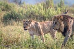 Сопрягая пара львов идя в траву Стоковые Фото