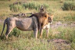 Сопрягая пара львов идя в траву Стоковое фото RF