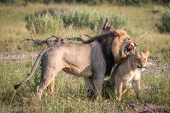 Сопрягая пара львов идя в траву Стоковые Изображения RF