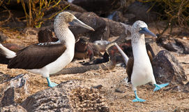 Сопрягая пары голубых Footed олухов Стоковые Фото