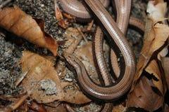 Сопрягая пары медленных червей на поле леса Стоковые Фотографии RF