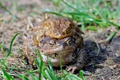 Сопрягая пары общей жабы, bufo Bufo Стоковое Фото