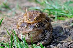 Сопрягая пары общей жабы, bufo Bufo Стоковая Фотография