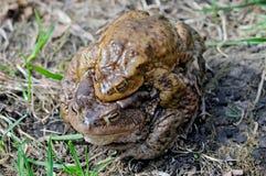 Сопрягая пары общей жабы, bufo Bufo Стоковое Изображение RF