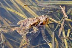 Сопрягая пары общей жабы, bufo Bufo Стоковые Фотографии RF