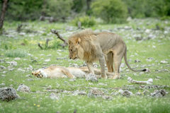 Сопрягая пары львов в траве Стоковое Фото