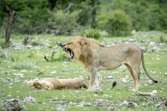 Сопрягая пары львов в траве Стоковая Фотография