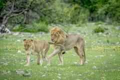 Сопрягая пары львов в траве Стоковое Изображение