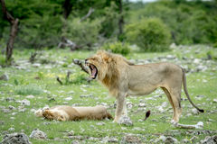 Сопрягая пары львов в траве Стоковое Изображение RF