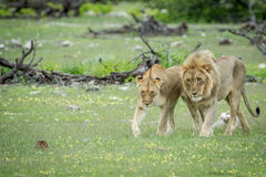 Сопрягая пары львов в траве Стоковые Фото
