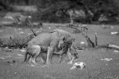 Сопрягая пары львов в черно-белом Стоковая Фотография