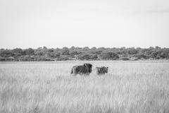 Сопрягая пары львов идя в высокую траву Стоковые Изображения