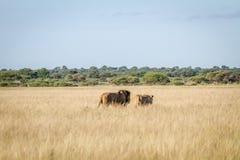 Сопрягая пары львов идя в высокую траву Стоковое Изображение RF