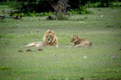 Сопрягая пары львов кладя в траву Стоковые Изображения