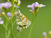 Сопрягая померанцовые бабочки подсказки Стоковое Изображение